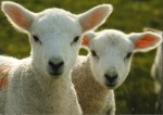 Lambs In Shropshire