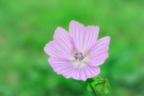 Musk Mallow wildflower